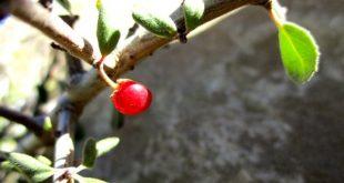 میوه آلبالو کوهی