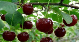 میوه آلبالو رسمی
