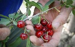 میوه آلبالو مجاری